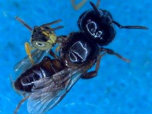 La abeja soldado Jatai se aferra a las alas de una mucho más grande abeja ladrón para inmovilizarla